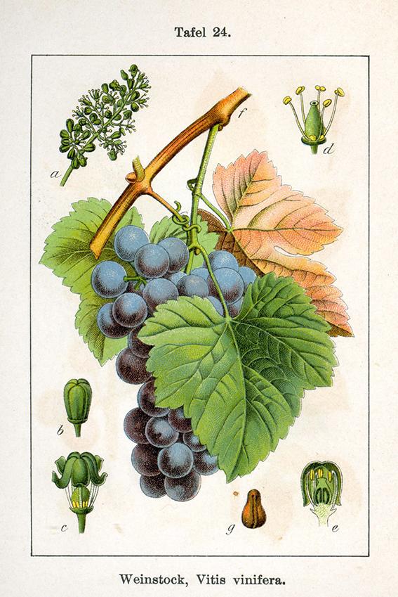 La vid (Vitis vinifera). Museo Virtual de la Ciencia del CSIC