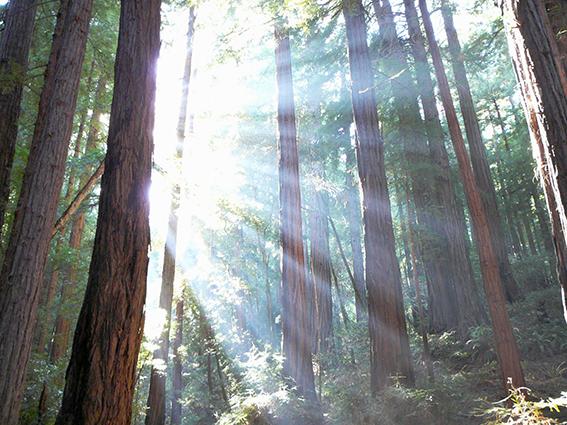 """La luz del sol penetrando entre las secuoyas del Parque Nacional <em>Muir Woods</em> al norte de San Francisco (EE.UU.) A esta especie pertenece el árbol más alto del planeta (de unos 115,55 m. de altura)"""" /></p> <p style="""